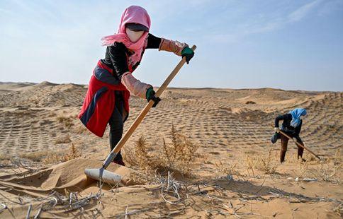 People plant hedysarum scoparium to curb desertification in Inner Mongolia