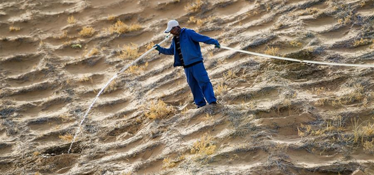 People plant hedysarum scoparium to curb desertification in Inner Mongolia, China