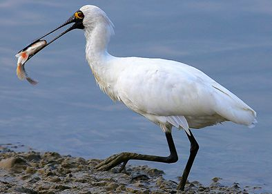 Endangered wading bird spotted in China's largest freshwater lake