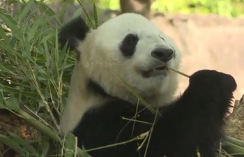 China's ancient town welcomes 8 pandas for the first time