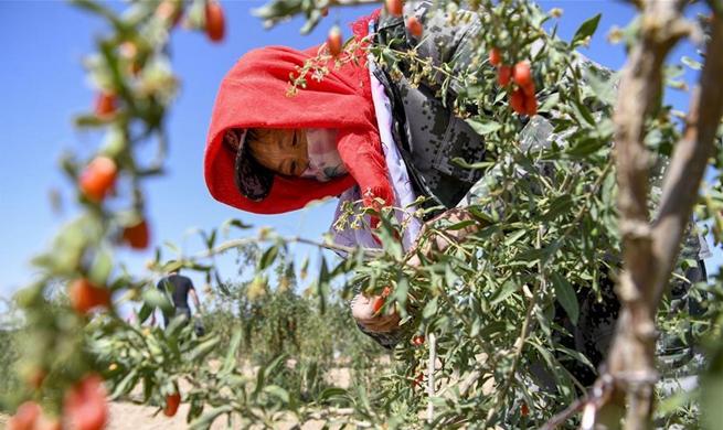 Goji berries enter harvest season in Ningxia