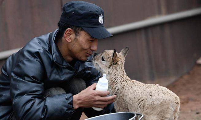 Tibetan antelope babies rescued at Zhuonai Lake protection station in Qinghai