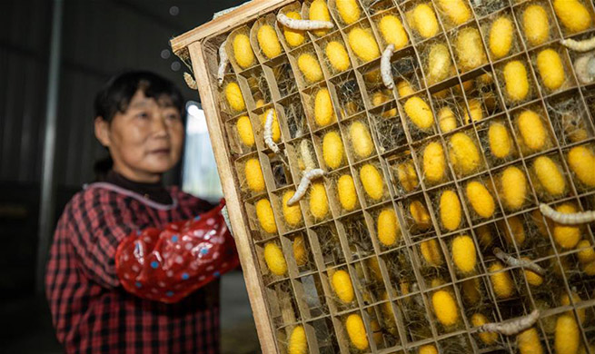 Silkworm farmers of Xidong Village harvest cocoons in China's Zhejiang