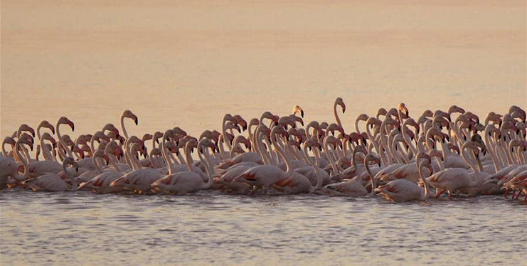 Flamingoes forage in water in Kuwait City