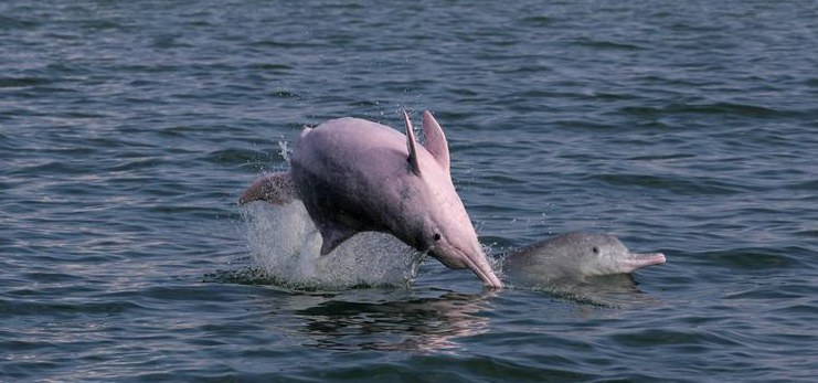 Discover China: Safe haven for rare dolphins in south China