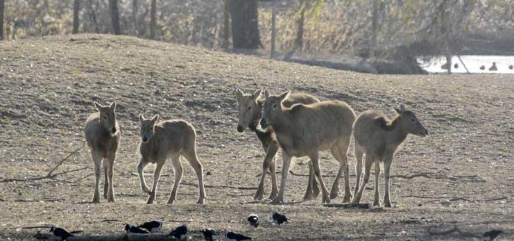 Rare milu deer to be released into wild in China