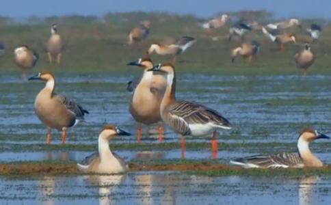 Bird protectors of China's largest freshwater lake