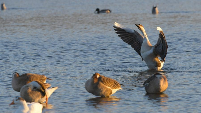 Water birds gather near islet on Hunhe River in Shenyang