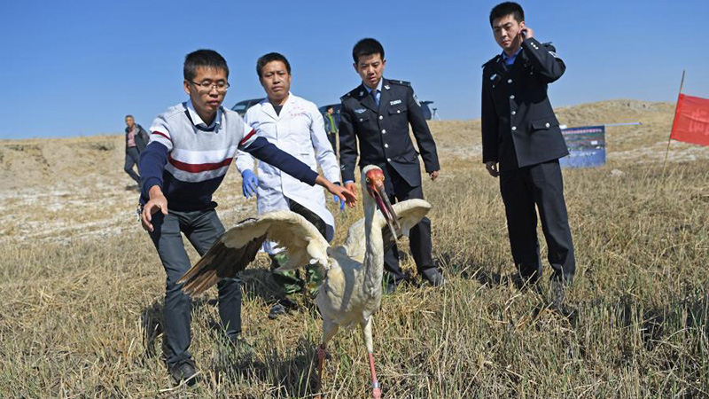 Pic story: lost white crane returned to wild with help of bird lovers