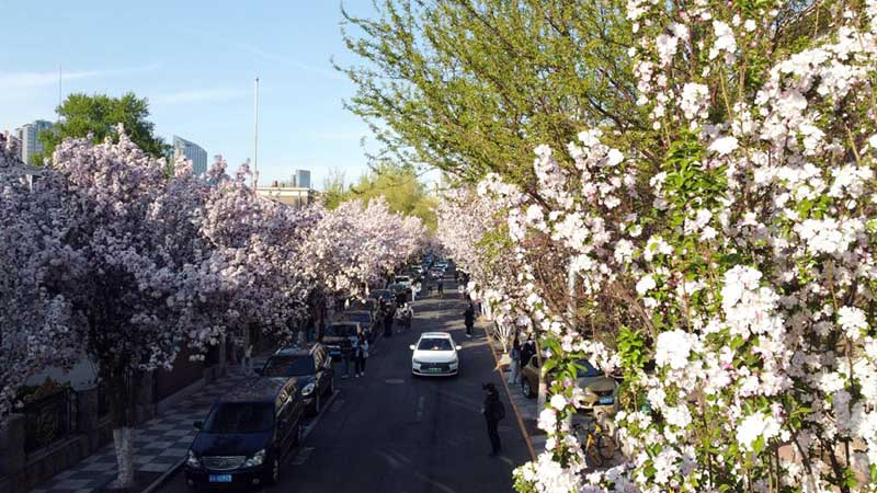 Scenery of flowering Chinese crabapple trees in Tianjin