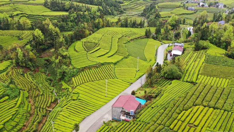 Aerial view of tea gardens in Enshi, central China's Hubei
