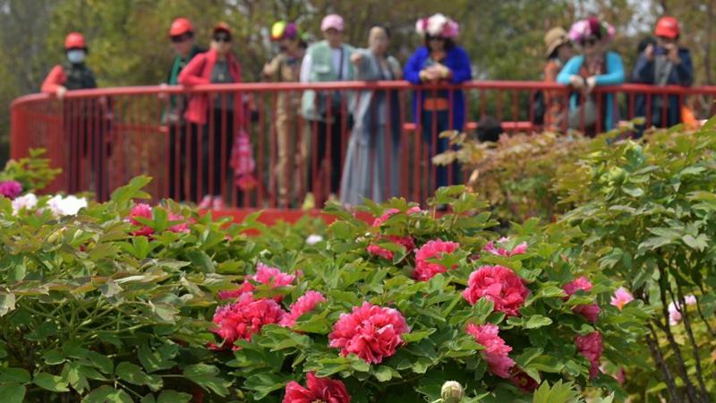 People visit peony garden in Heze City, Shandong