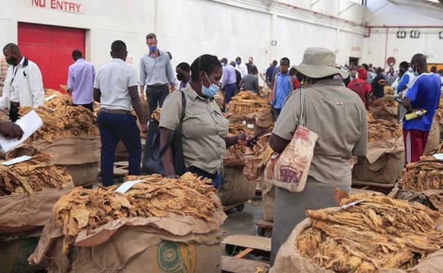 Zimbabwe's 2021 tobacco marketing season commences with high hopes