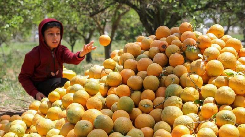 Orange harvest in central Gaza Strip