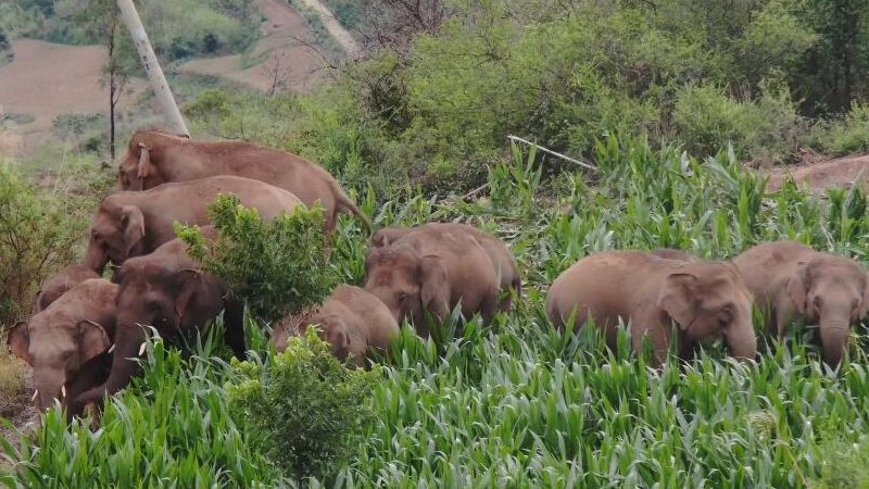 GLOBALink   China's migrating elephant herd lingers in township