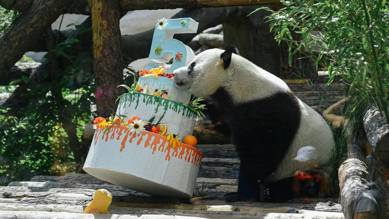 Moscow Zoo celebrates birthday for giant panda Ru Yi arriving from China for 15-year scientific program