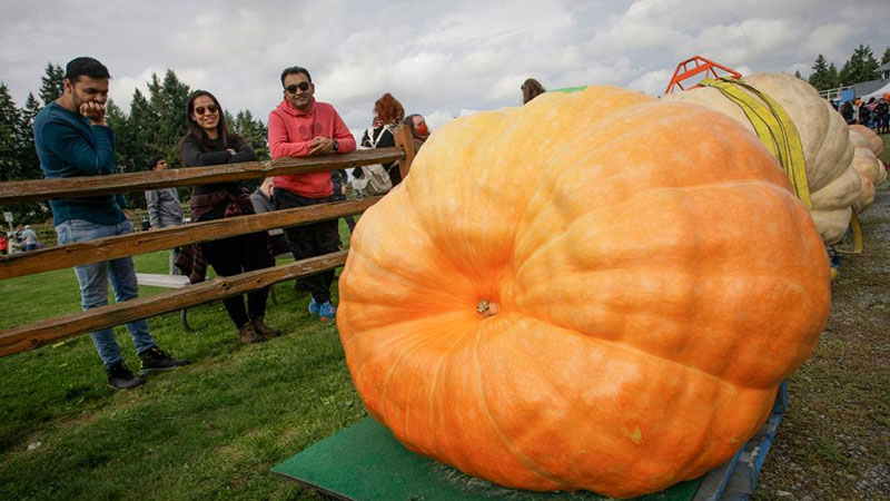 In pics: Giant Pumpkin Weigh In Event in Langley, Canada