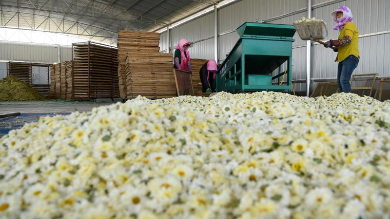 Local authorities make efforts to promote chrysanthemums industry in Ningxia