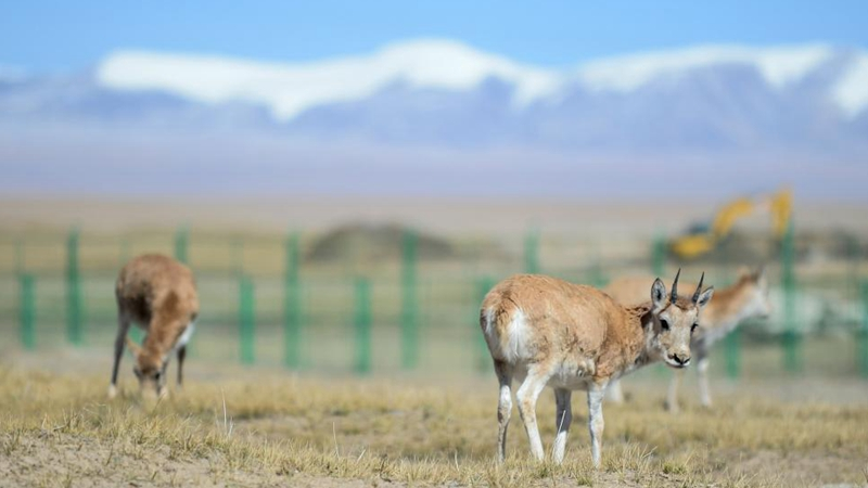 Hoh Xil National Nature Reserve strengthens protection of Tibetan antelopes