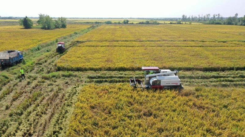 Rice harvested in Nanchang, Chongqing