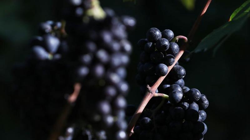 In pics: Clos Montmartre vineyard during harvest festival in Paris