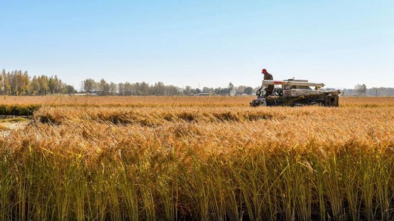 Farmers harvest rice in Jilin City, Jilin
