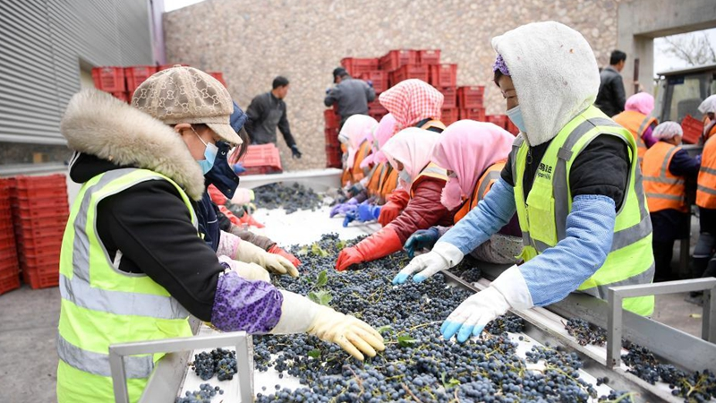 Farmers busy harvesting wine grapes in Ningxia