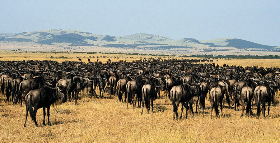 Animals migration in Africa