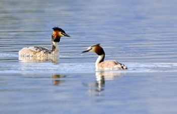 Grebes seen in Lhalu wetland national nature reserve in Lhasa