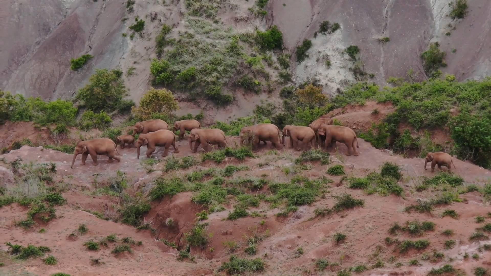 GLOBALink | China's migrating elephant herd increasingly active