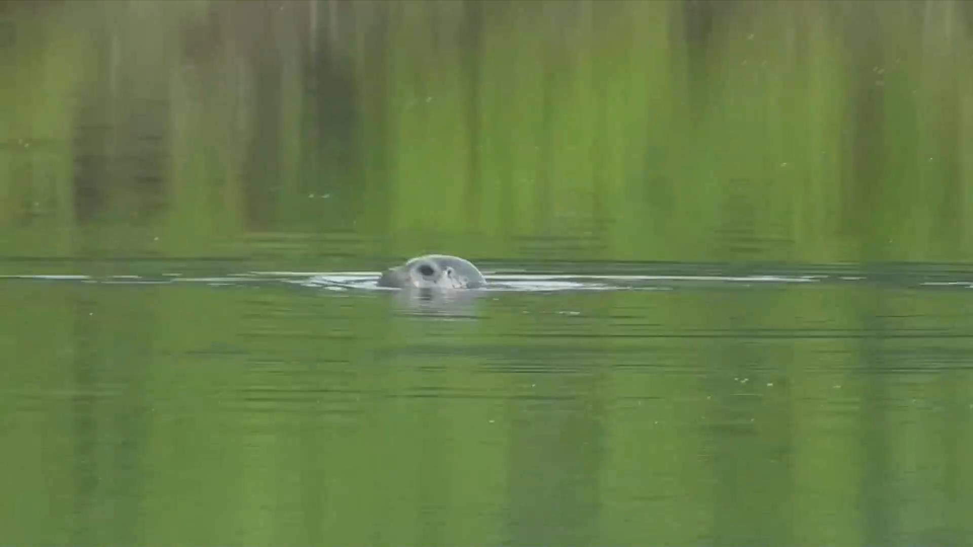 GLOBALink | Spotted seals discovered in inland rivers in Shenyang, China