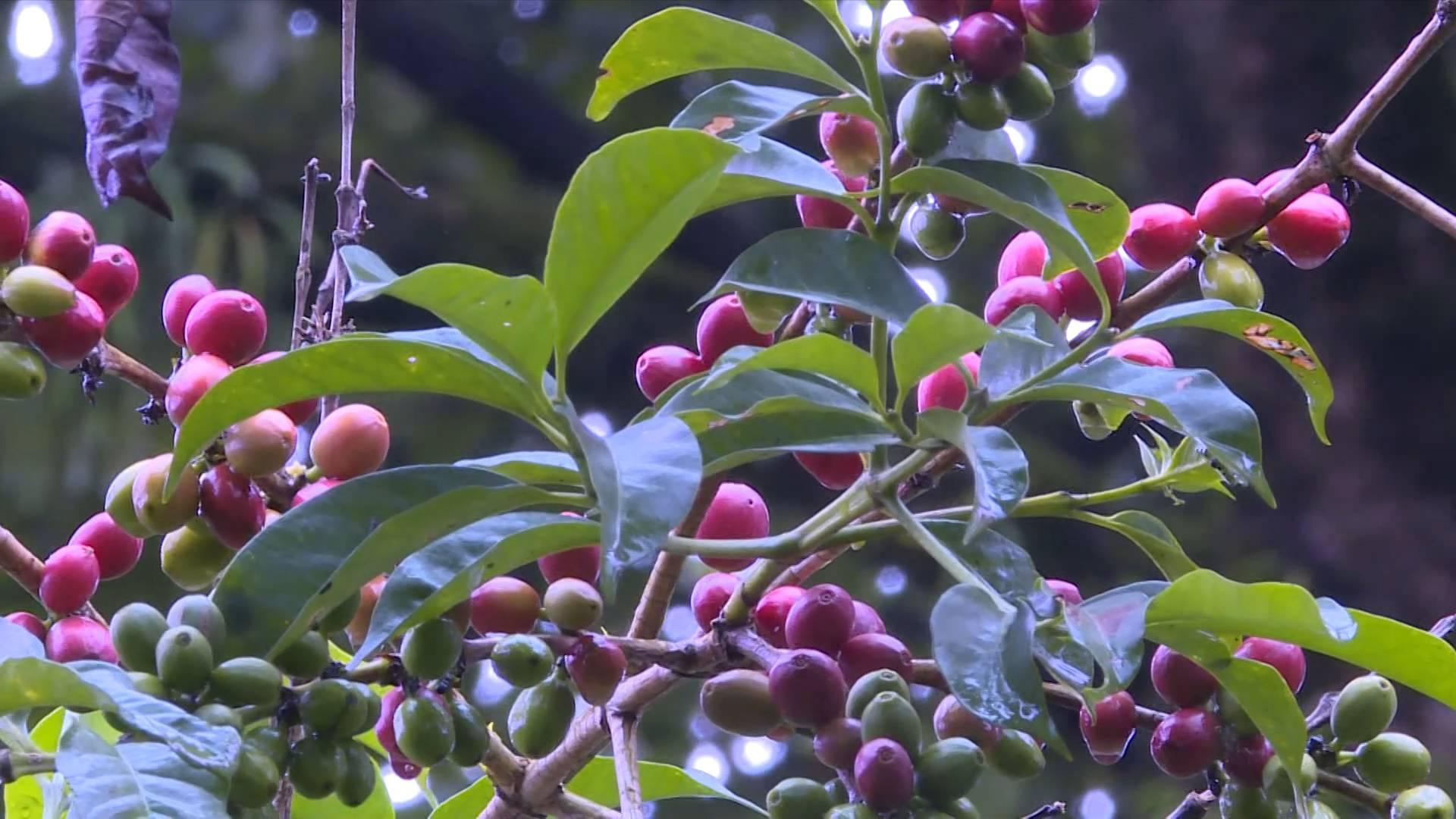 GLOBALink   CIIE brings huge opportunity: Ethiopian coffee exporters