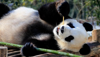Giant panda enjoys leisure life at Xiuning Panda Park in E China's Huangshan City