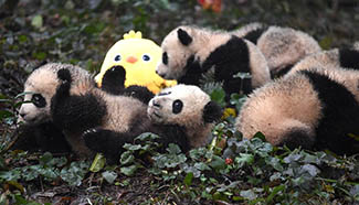 Cute baby giant pandas in SW China's Sichuan