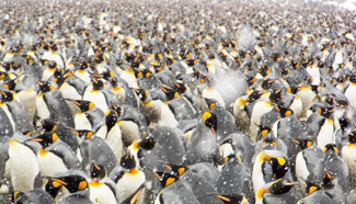 Emperor penguins gather on beach in Antarctica