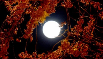 In pics: cherry blossoms under moonlight in SW China's Kunming