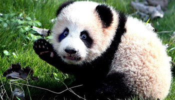 Panda mother and daughter die at Shanghai zoo