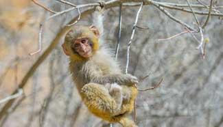 In pics: Tibetan macaques in Shannan, Tibet