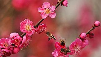 In pics: Plum blossoms in E China's Jiangsu