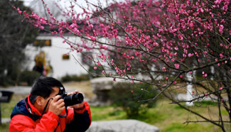 Plum trees in blossom in east China's Jiangxi