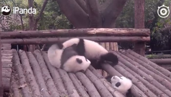 Panda who gets head stuck steals scene