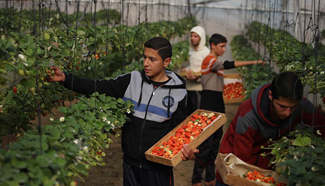 Palestinian farmers harvest strawberries in N Gaza Strip