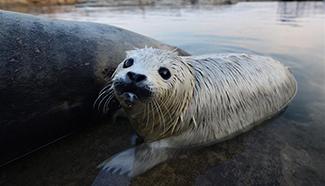 Newborn spotted seal cub seen in Yantai City, E China