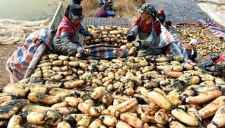 Villagers start to collect lotus roots in north China
