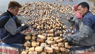 Harvest season of lotus roots comes in north China