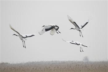 Red-crowned cranes seen at national nature reserve in E China