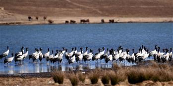 Black-necked cranes seen in SW China