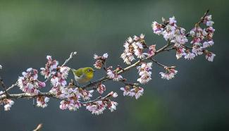 Cherry blossoms in Nanjing, China's Jiangsu
