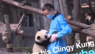 Never let go! Clingy panda holds on to breeder like glue
