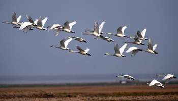 Migrant birds in East Dongting Lake ready to fly back to N China